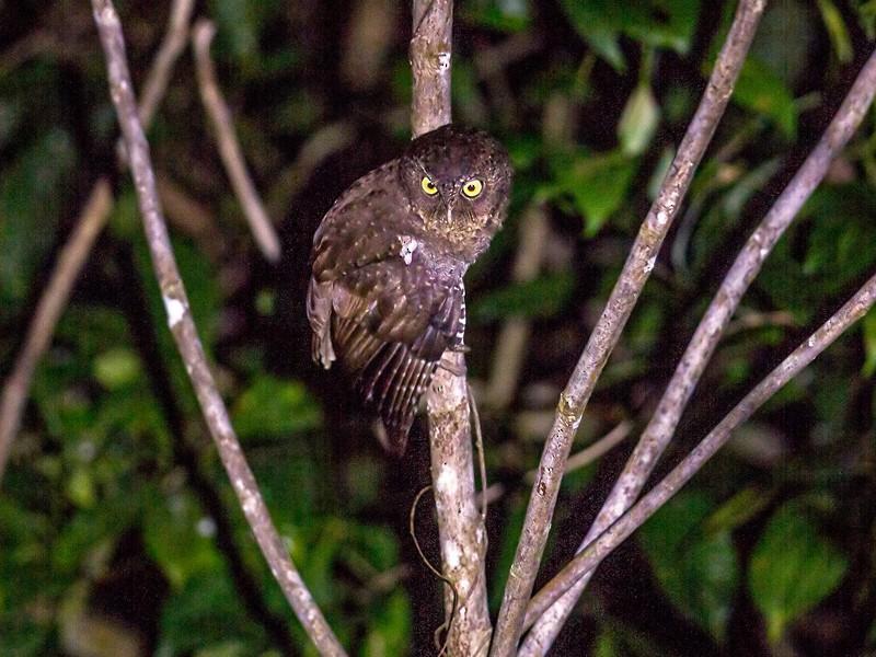 Andaman Scops-Owl - Yogish Holla