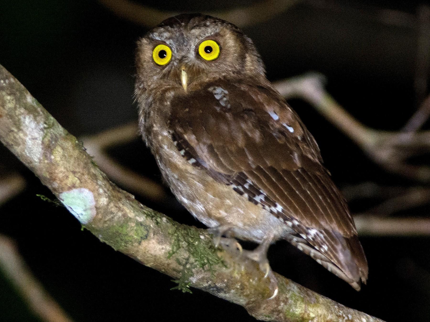 Andaman Scops-Owl - Shakti vel