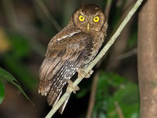 - Andaman Scops-Owl