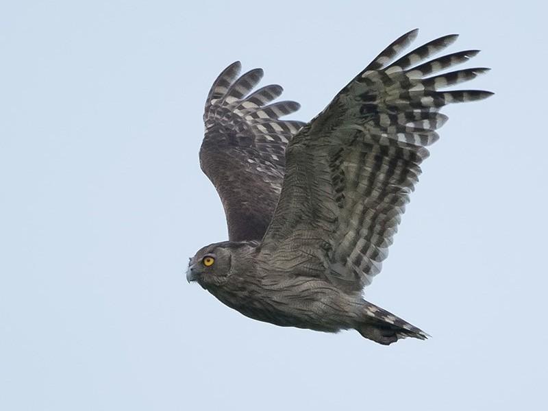 Dusky Eagle-Owl - Esha Munshi