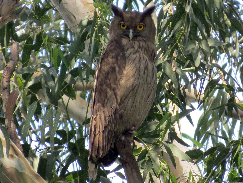 Dusky Eagle-Owl - Ritvik Singh