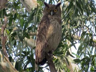 - Dusky Eagle-Owl