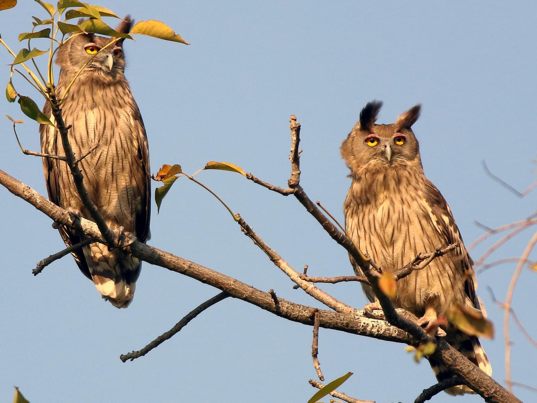 Dusky Eagle-Owl - Amarendra Konda