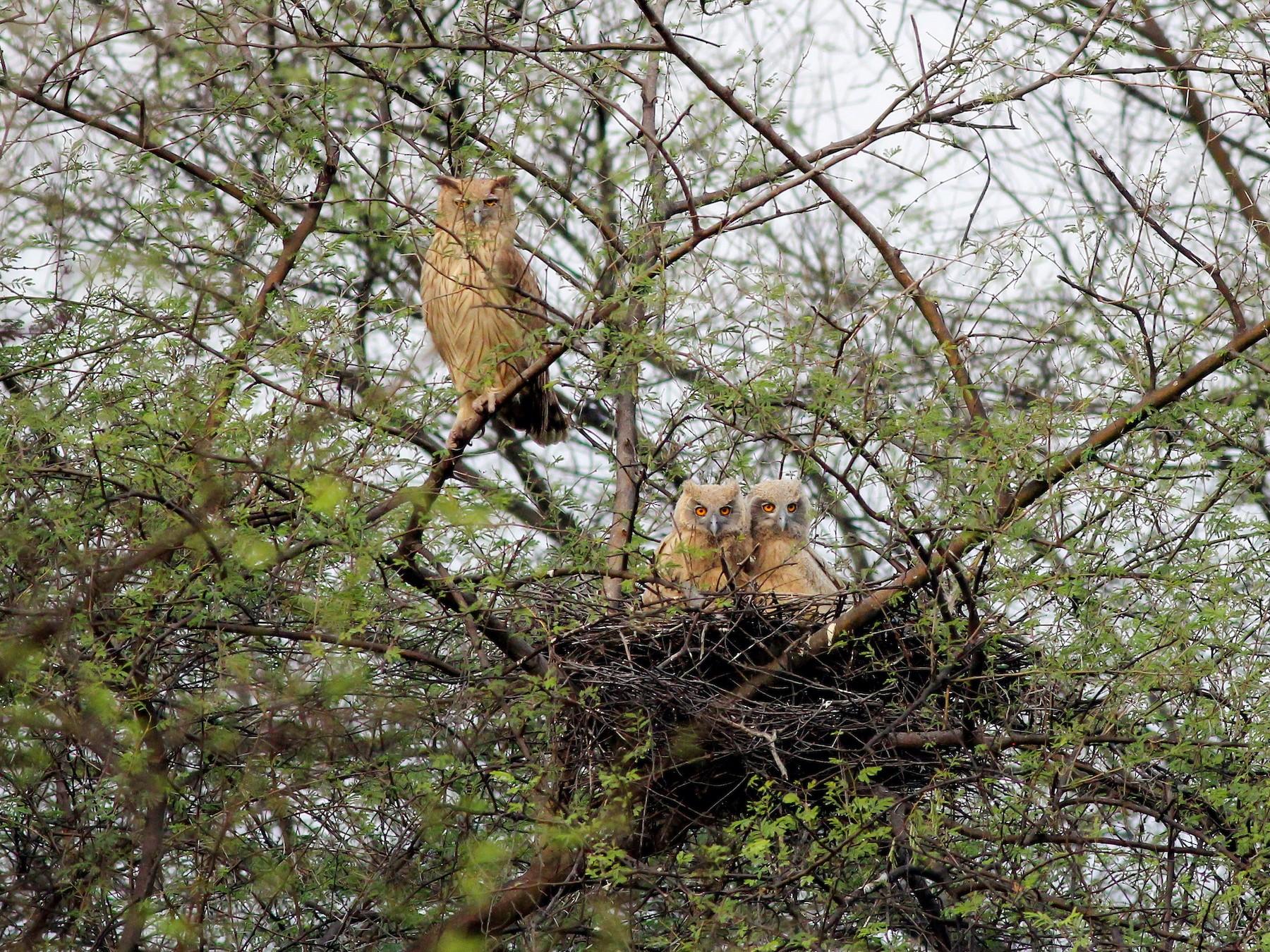 Dusky Eagle-Owl - Stefan  Hirsch