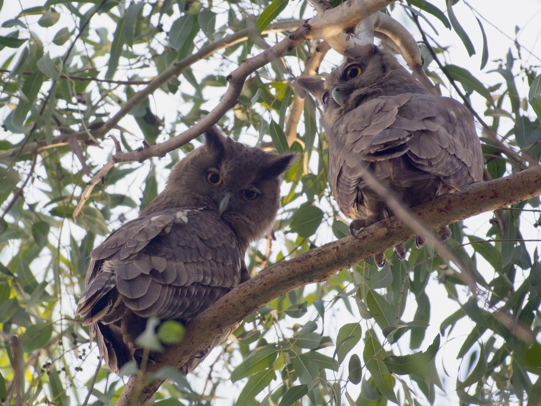 Dusky Eagle-Owl - Harshil Sharma
