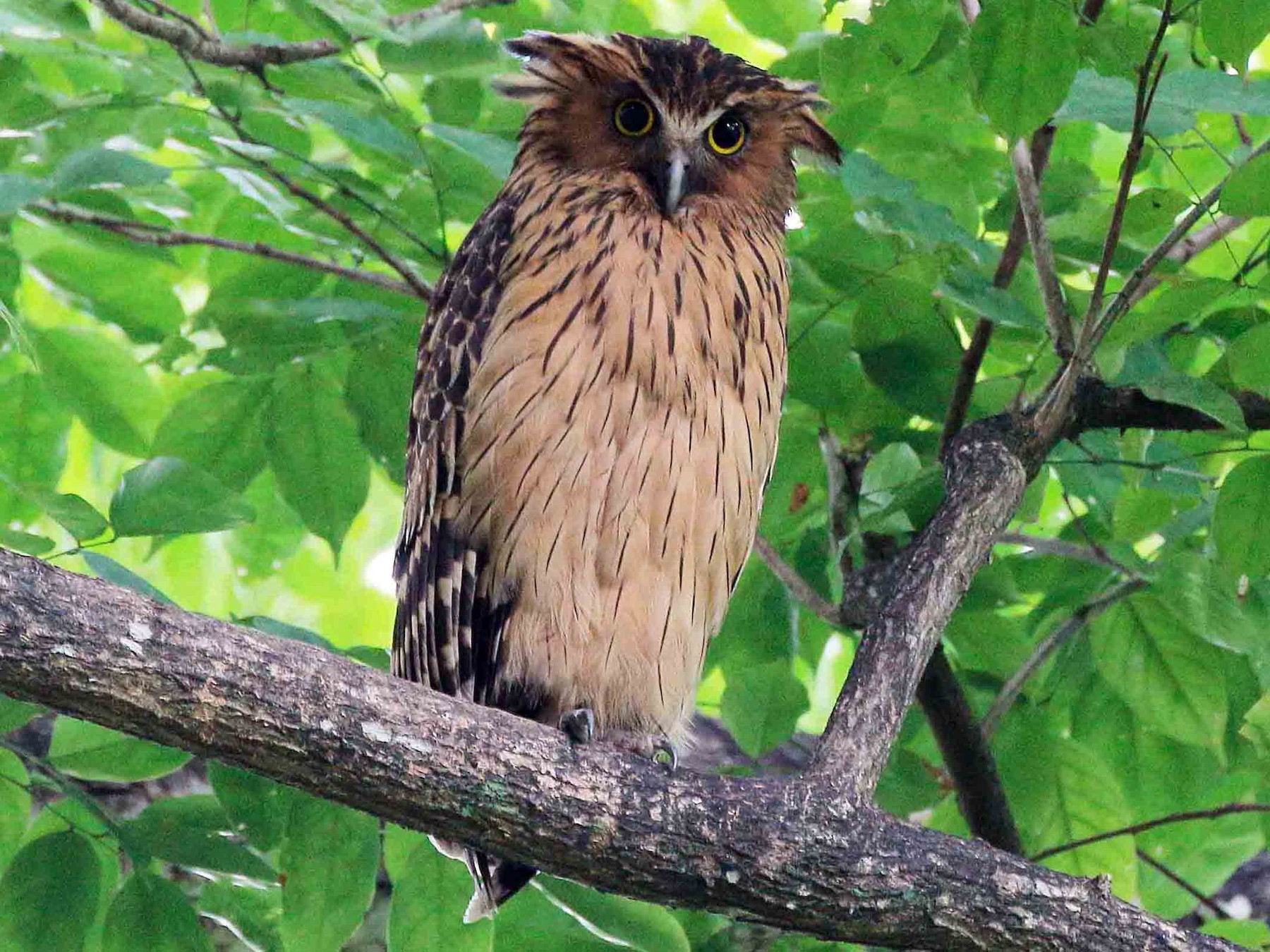 Buffy Fish-Owl - Neoh Hor Kee