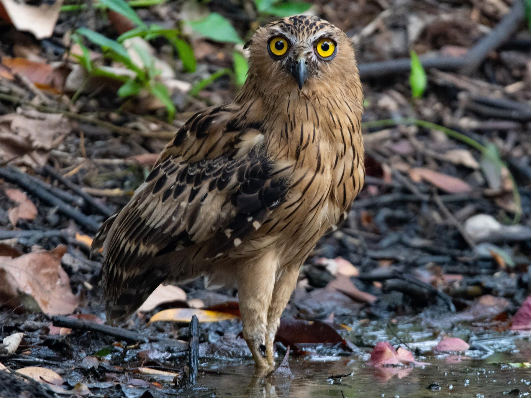 Buffy Fish-Owl - Andreas Kostic