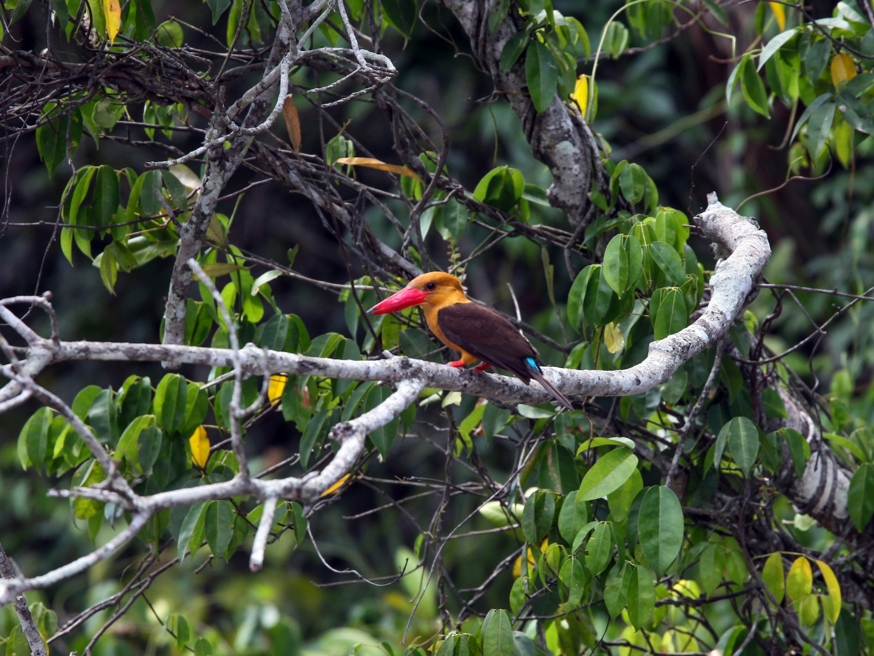 Brown-winged Kingfisher - Pam Rasmussen