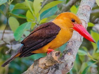 - Brown-winged Kingfisher