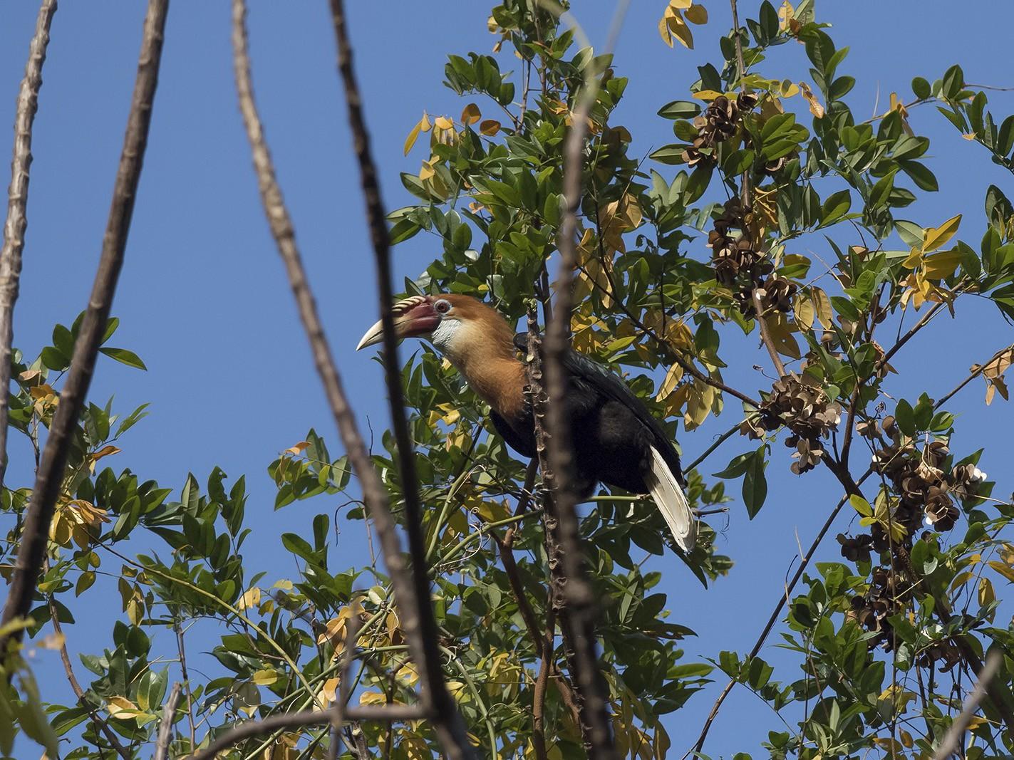 Narcondam Hornbill - Esha Munshi