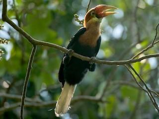 - Narcondam Hornbill