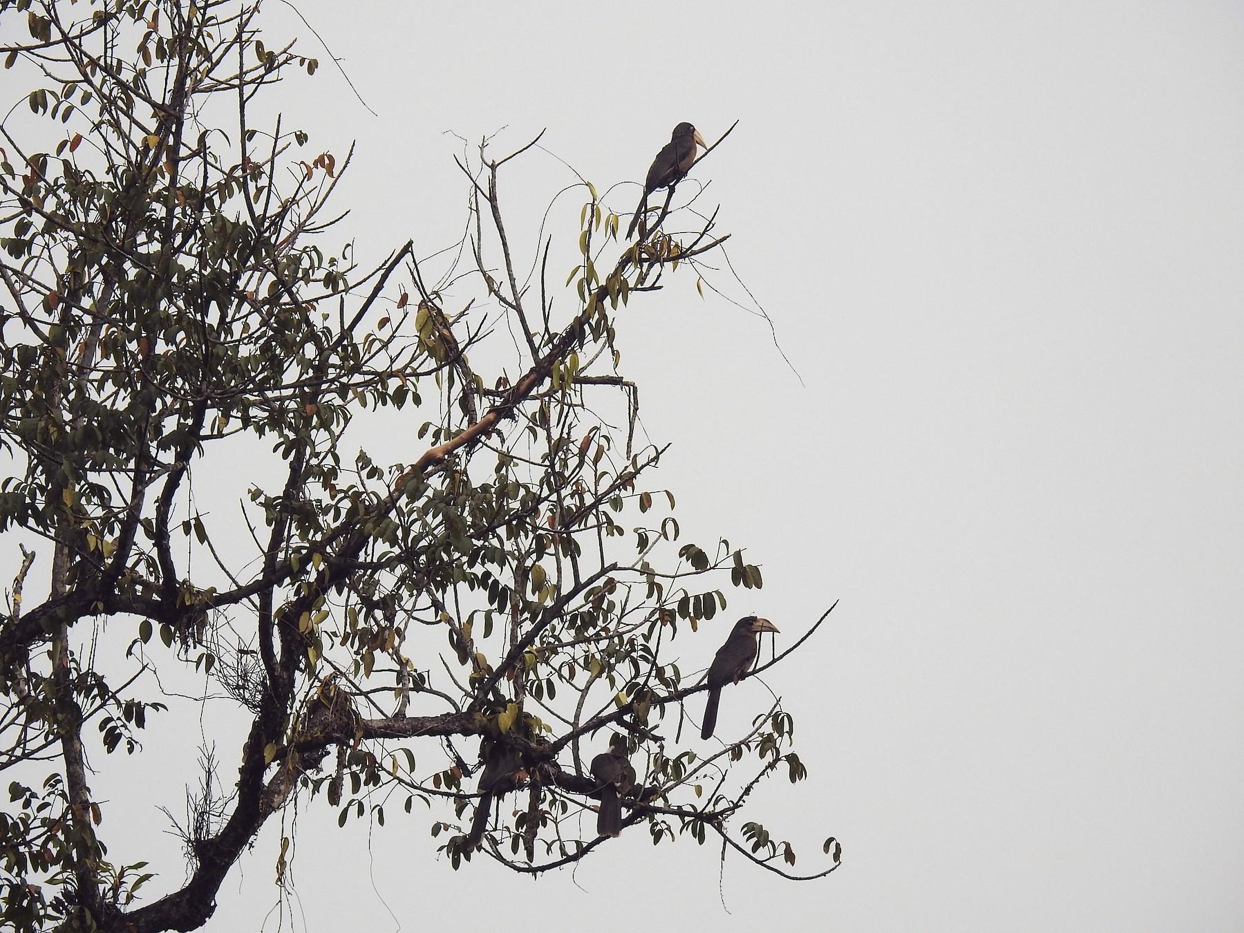 Brown Hornbill - Aparajita Datta
