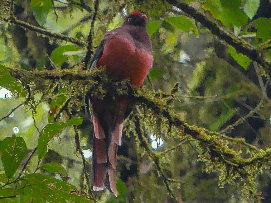 Ward's Trogon - Mike Prince