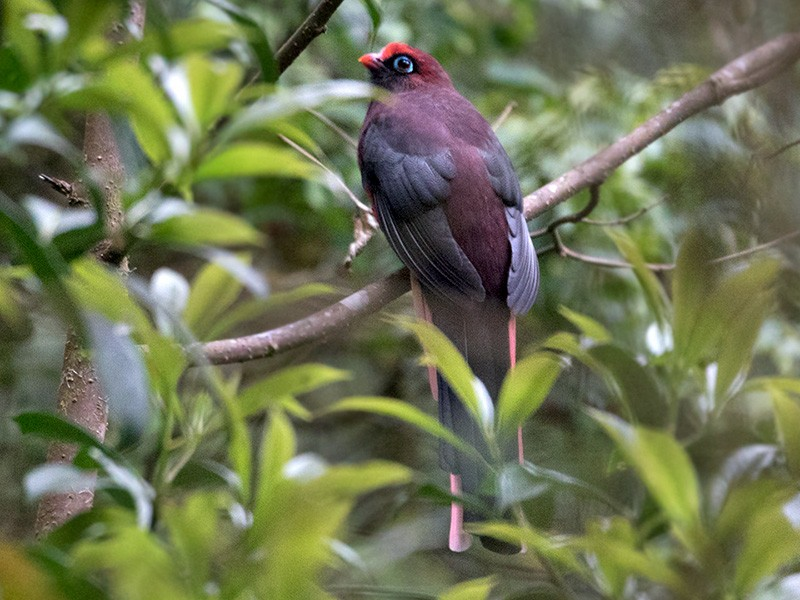 Ward's Trogon - Sam Woods