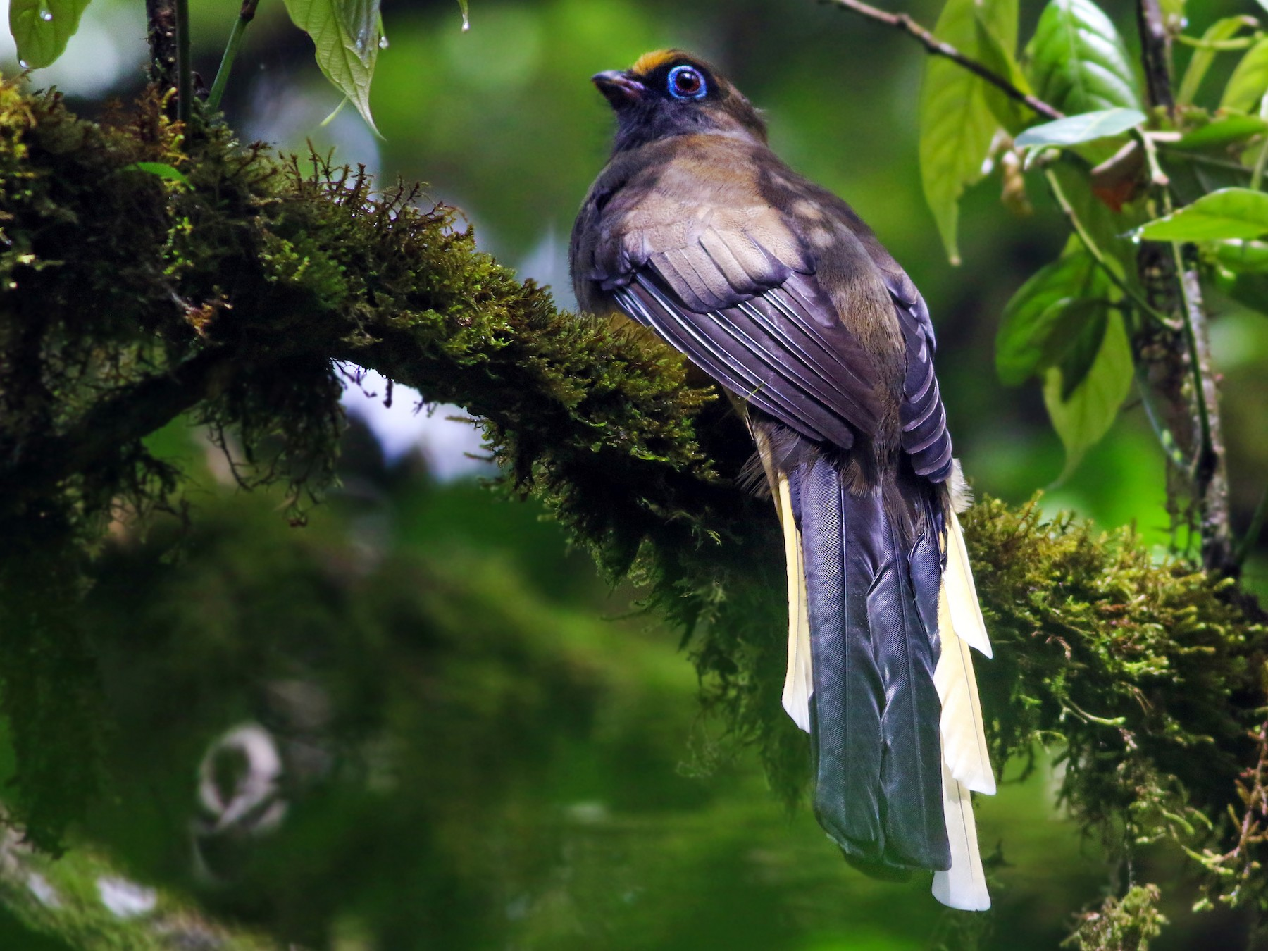Ward's Trogon - Rajdeep Mitra