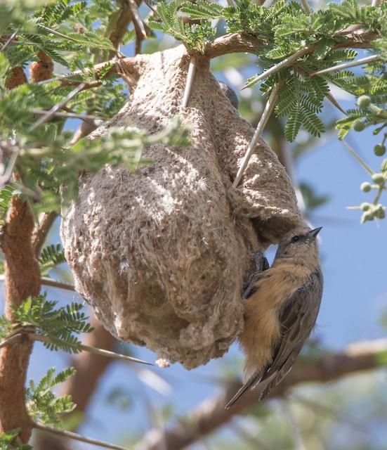 African Penduline-Tit