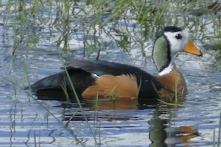 African Pygmy-Goose, ML160575841