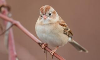 - Field Sparrow