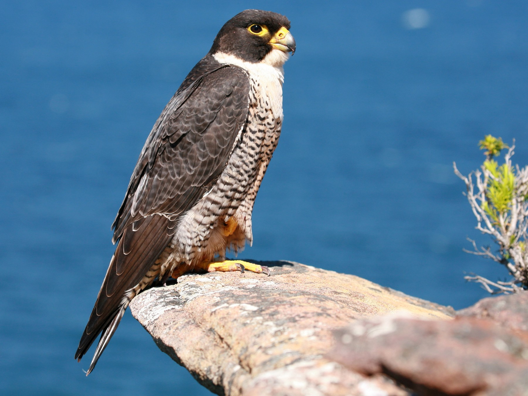 Peregrine Falcon - Anonymous eBirder
