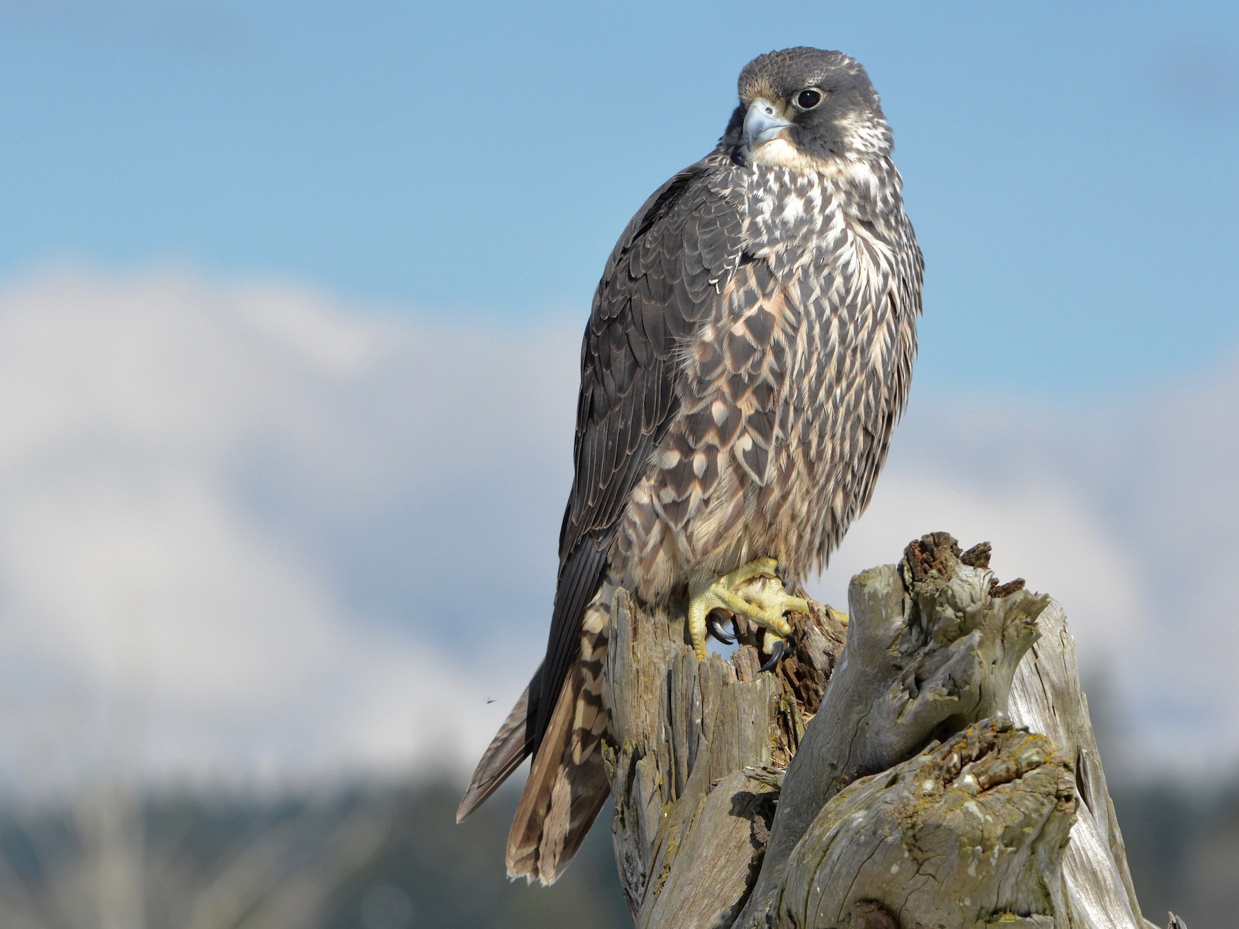 Peregrine Falcon - Bridget  Spencer