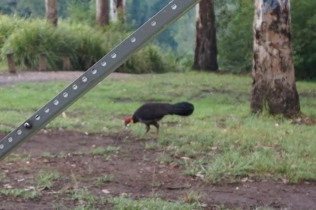 Australian Brushturkey