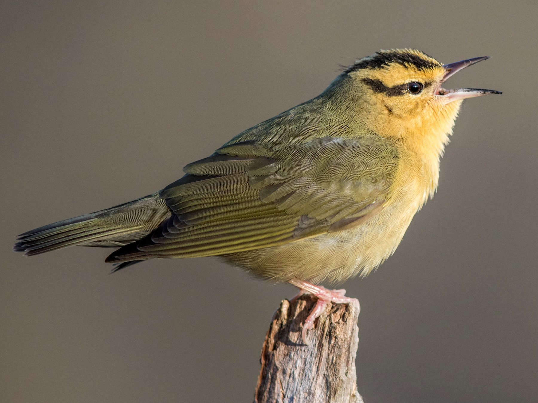 Worm-eating Warbler - Jeff Timmons