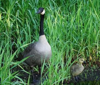 Canada Goose, ML161193001