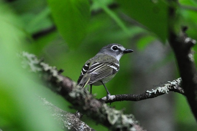 © Matthew Crittenden - Blue-headed Vireo