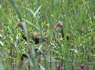 Black-bellied Whistling-Duck (fulgens), ML161341641
