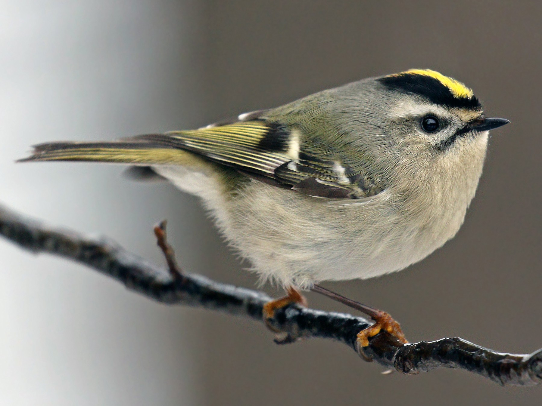 Golden-crowned Kinglet - Ryan Schain