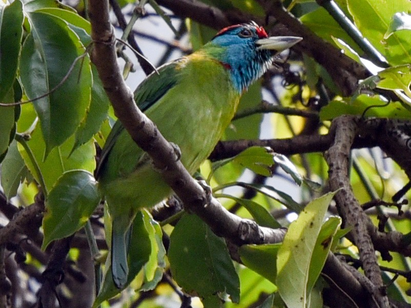 Blue-throated Barbet - Bruce Wedderburn