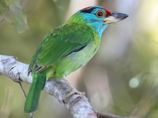 - Blue-throated Barbet (Blue-crowned)