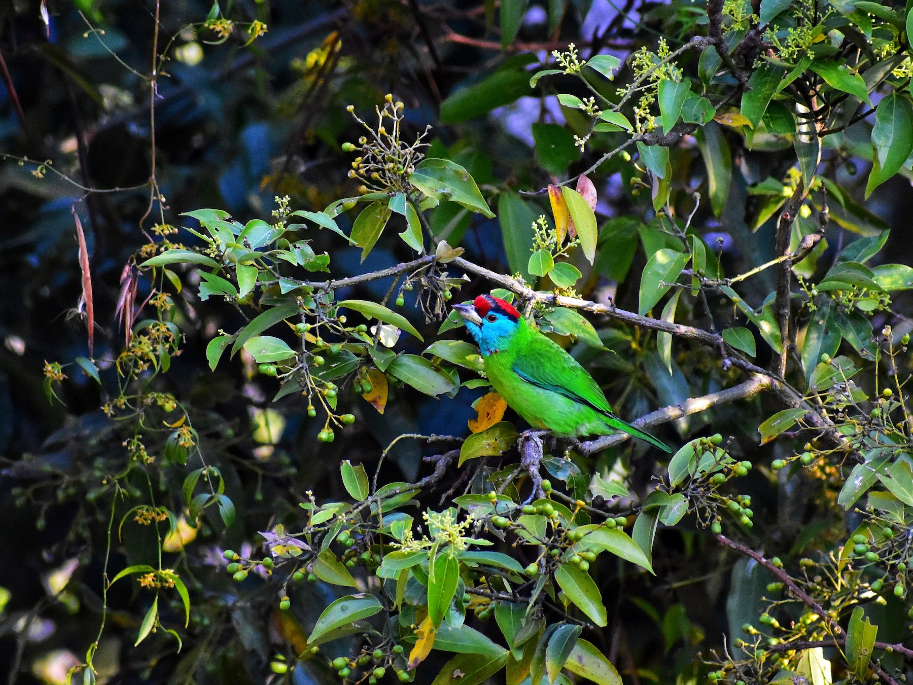 Blue-throated Barbet - Rohit Chakravarty