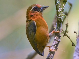 - White-browed Piculet