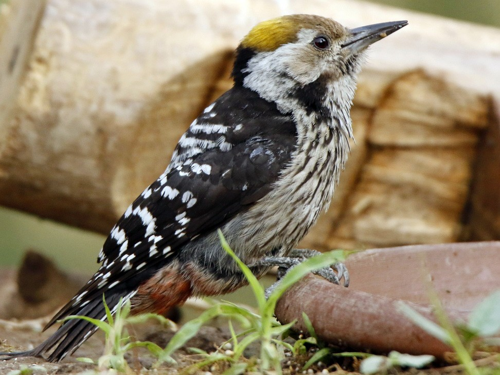 Brown-fronted Woodpecker - Subhadra Devi