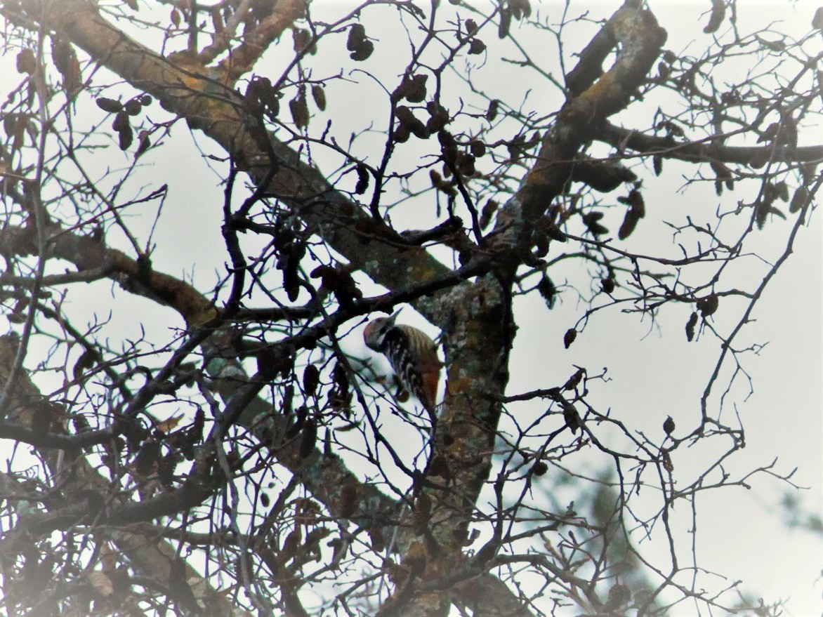 Brown-fronted Woodpecker - Syed Muzamil