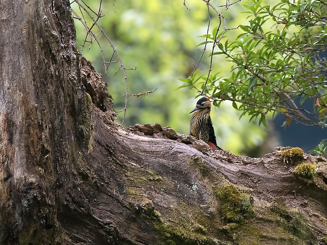 Darjeeling Woodpecker - Sandip Das