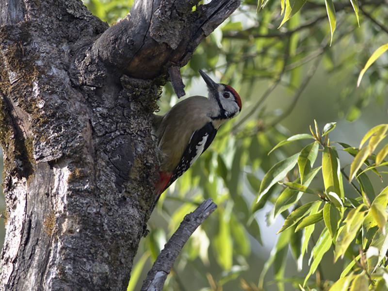 Himalayan Woodpecker - Ramnarayan K