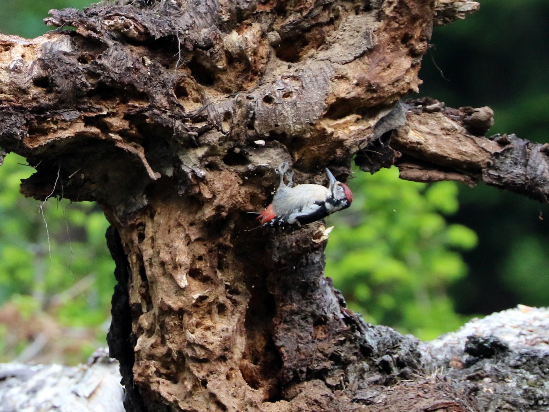 Himalayan Woodpecker - Suresh  Rana