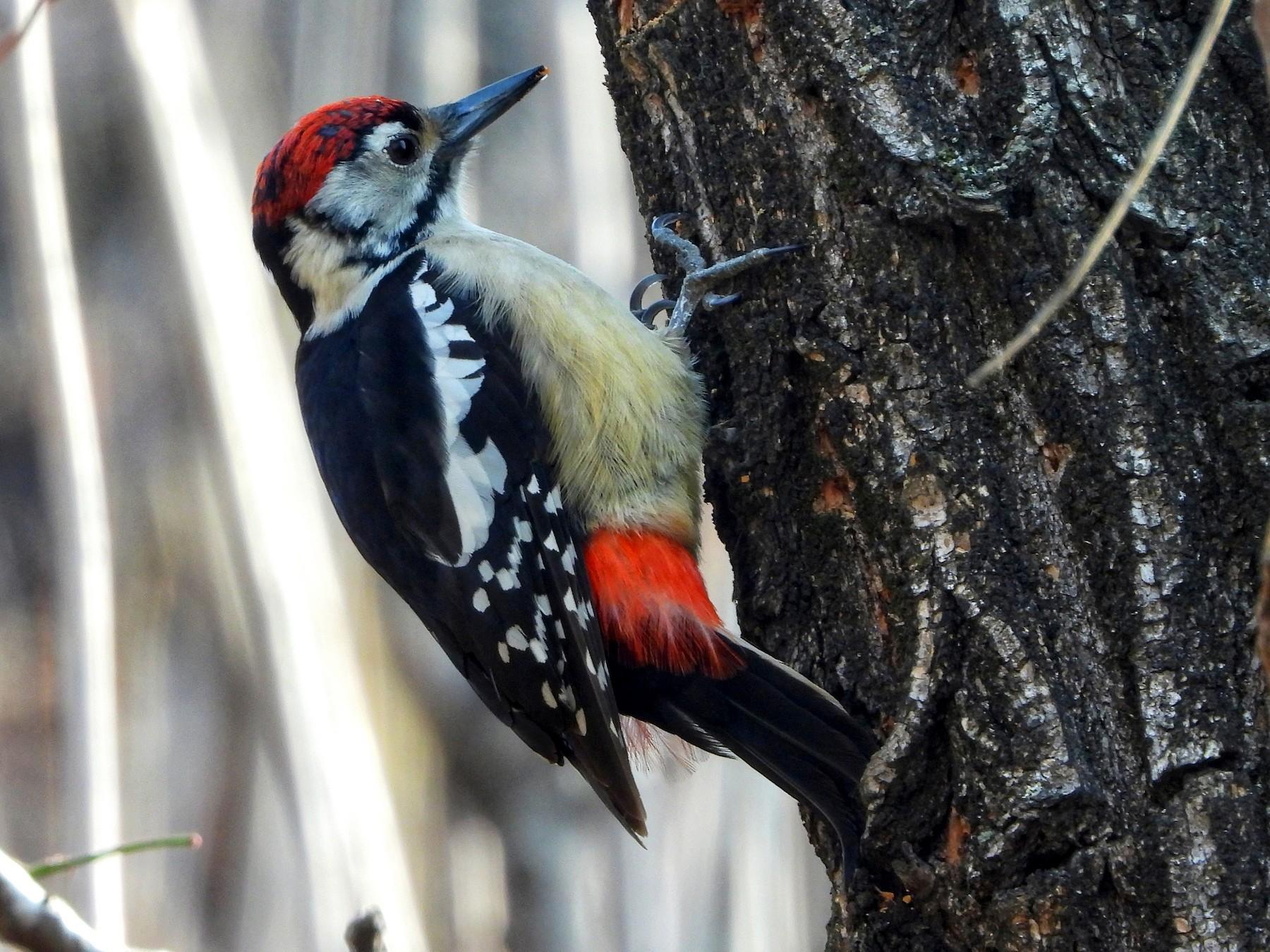 Himalayan Woodpecker - Ansar Ahmad  Bhat