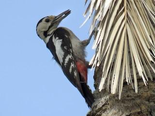 - Sind Woodpecker
