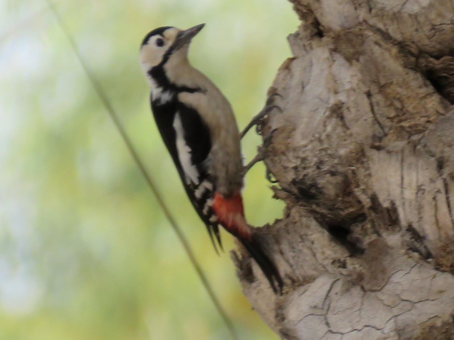 Sind Woodpecker - Ali Mousavi