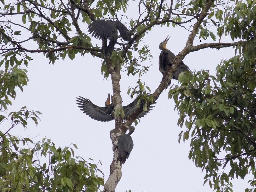 Great Slaty Woodpecker - Michael Todd