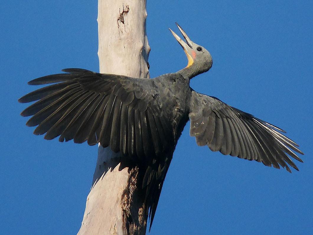 Great Slaty Woodpecker - Kai Soon Chan