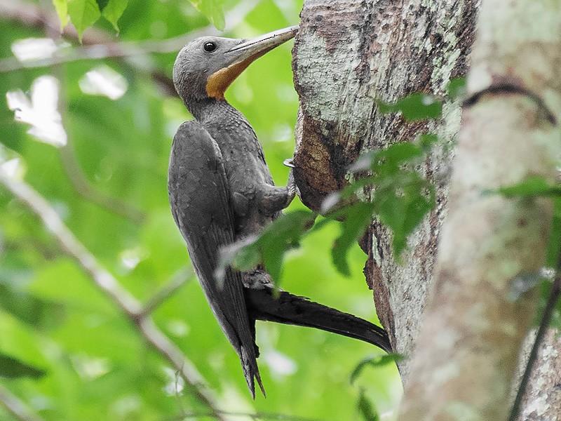 Great Slaty Woodpecker - Natthaphat Chotjuckdikul