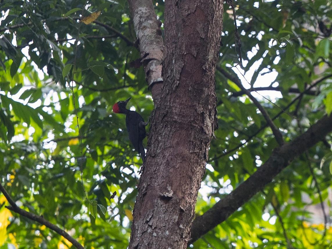 Andaman Woodpecker - Vivek Menon