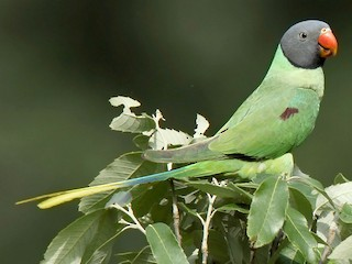 - Slaty-headed Parakeet