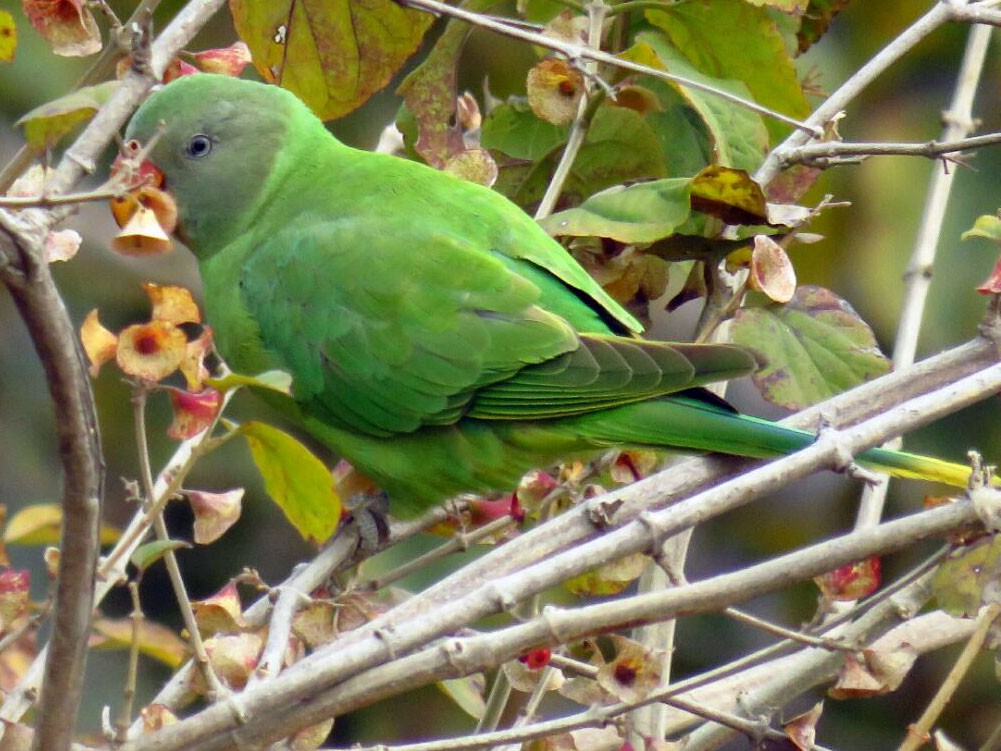 Slaty-headed Parakeet - Taukeer Alam Lodha