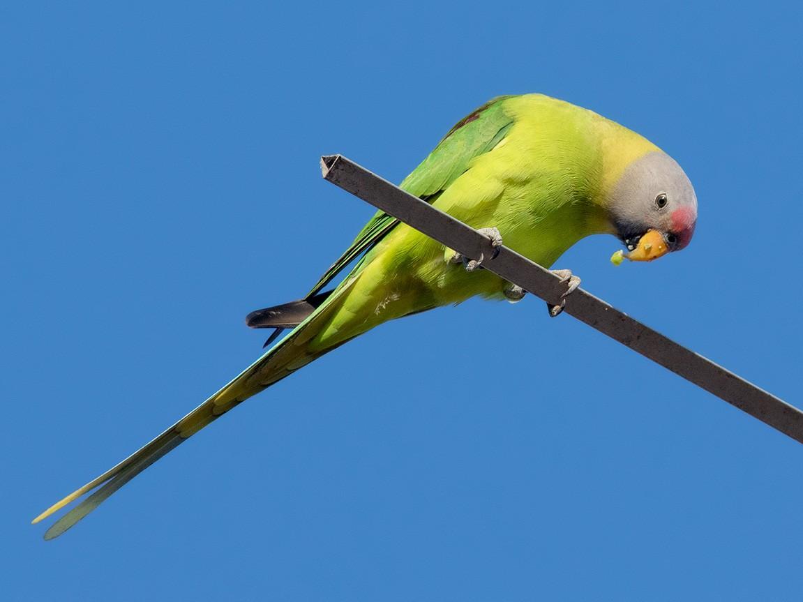 Blossom-headed Parakeet - Ayuwat Jearwattanakanok