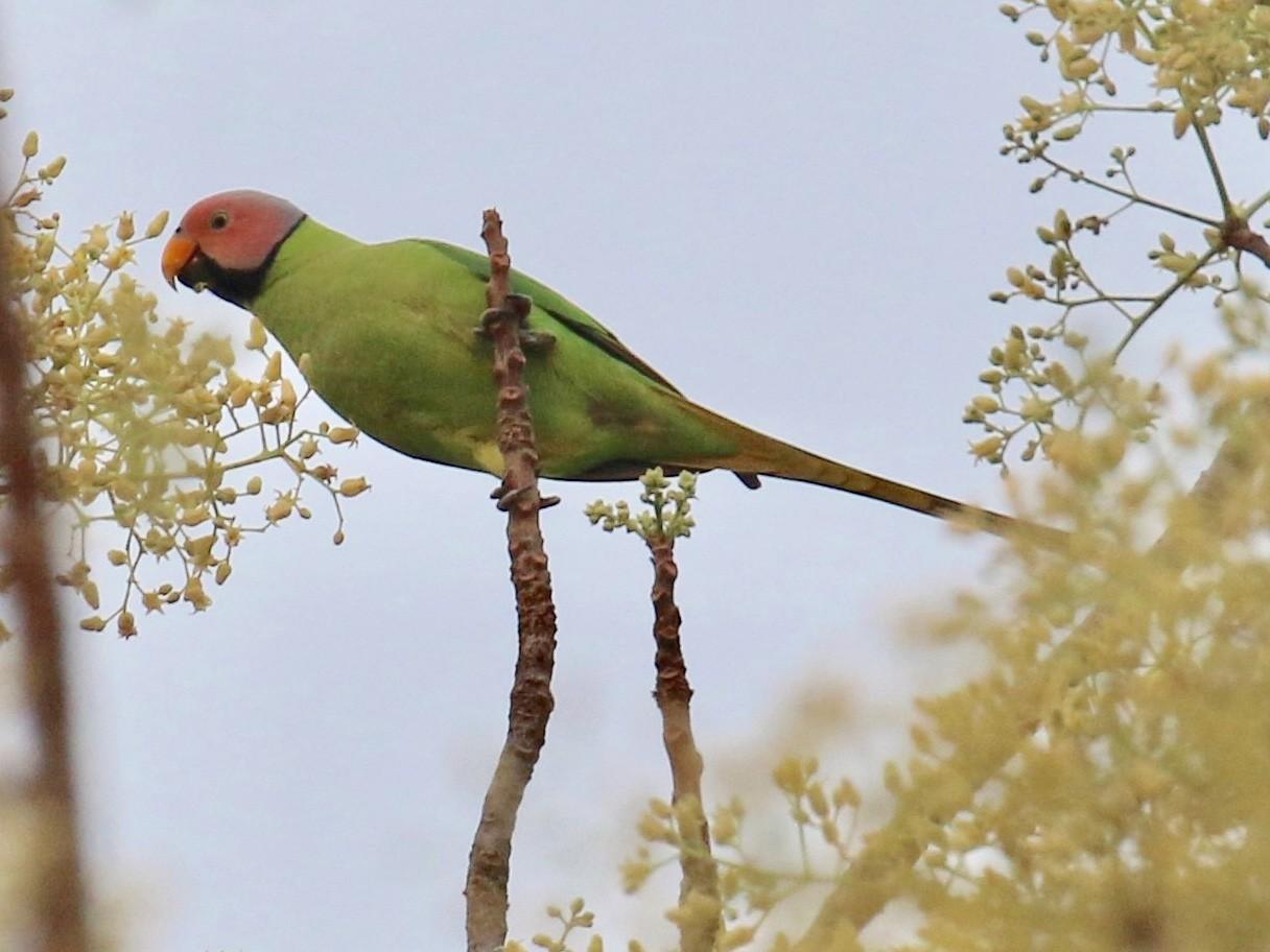 Blossom-headed Parakeet - Jens Toettrup